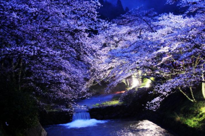 京都の隠れ桜スポット『和らぎの道』観光!!