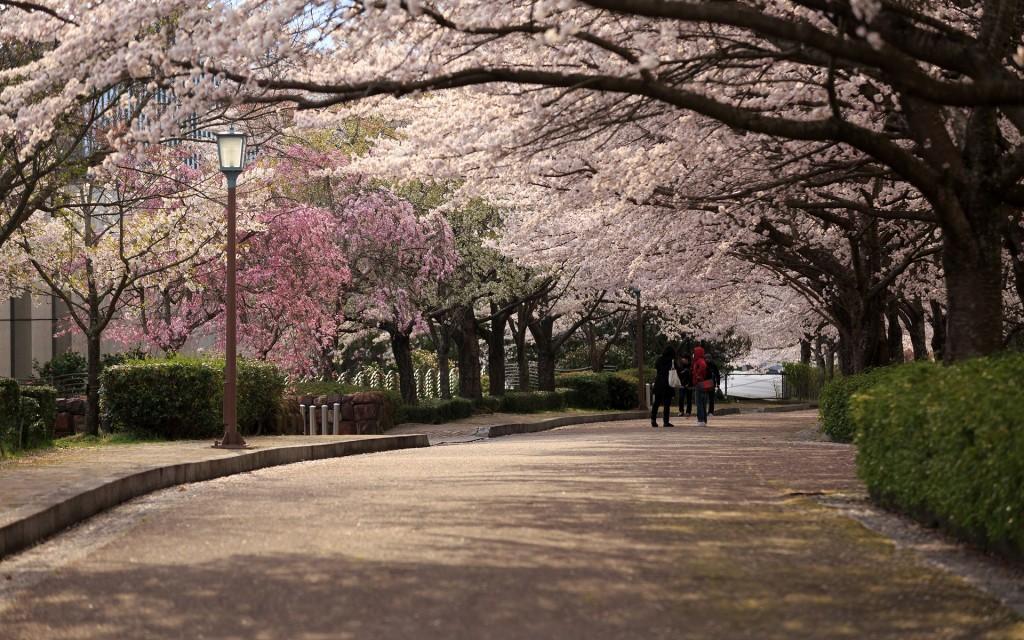 京都花見・1