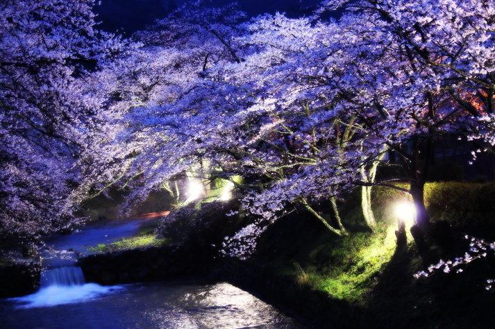 京都花見・5