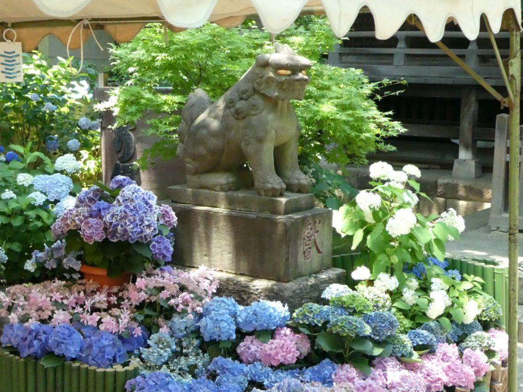 東京「白山神社」あじさい祭り2016 (6)