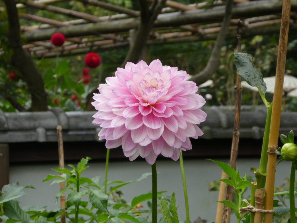 東京都台東区上野公園の「上野東照宮」の『ぼたん苑』で「秋のダリア展」を観てきました。