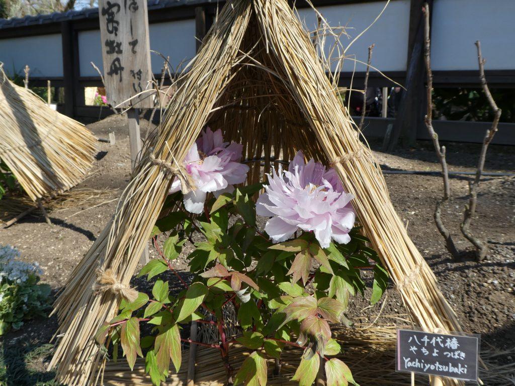 東京都台東区上野公園の『上野東照宮』で「冬ぼたん」限定の御朱印をいただきました。